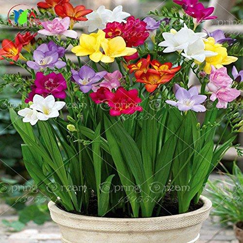 20pcs / bag semi fresie, colorate piante fiore profumato splendidi semi, colorati profumati semi di piante di fiori giardino di casa
