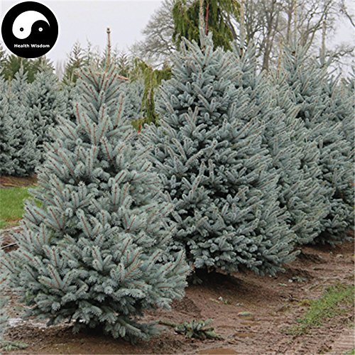 Semillas Comprar Picea pungens abeto 120pcs azul planta de árbol Spruce china Lan Shan
