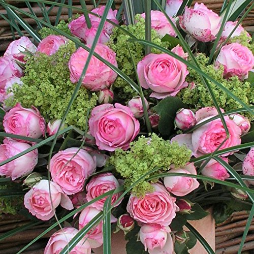 "Kletterrose ""Mini Eden Rose®"" - Hellrosa blühende Topfrose im 6 L Topf - frisch aus der Gärtnerei - Pflanzen-Kölle Gartenrose"