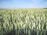 200 ORGANIC OAT Oats Avena Sativa Grain Vegetable Seeds by Seedville