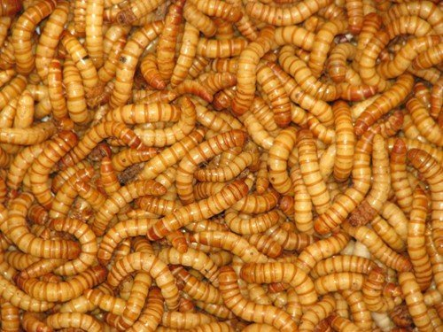 Mealworms Reptile Live Food 60g ...