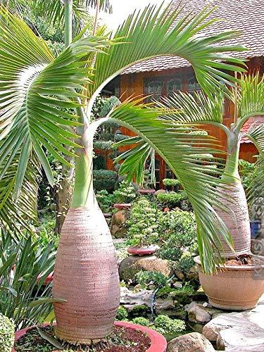 Go Garden Botella Semillas de la Palmera -Tropical Ornamental- 10Pcs