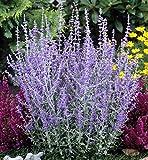 Perovskia 'Blue Spire' / Russian Sage in 2L Pot, Violet-Blue Flowers 3fatpigs®