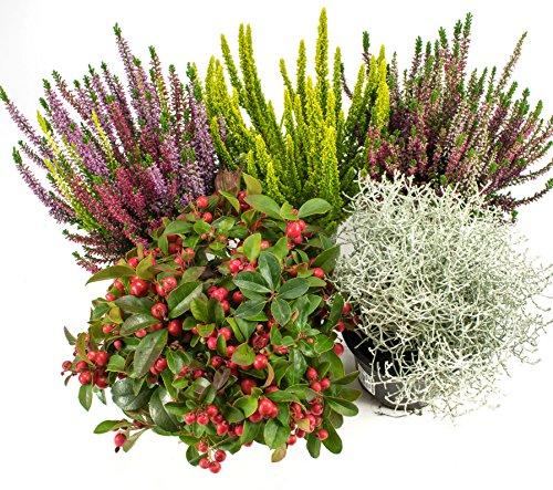 Herbst Blumen Set Nr.8 Calluna vulgaris Trios Milka & Wildbeery, Scheinbeere, Skyline & Stacheldraht