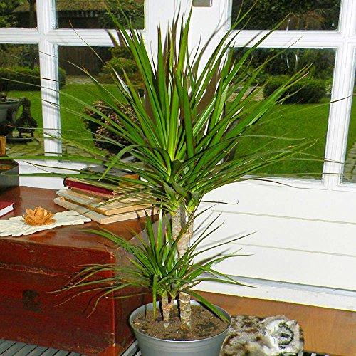 Dracaena Standard - 1 plante
