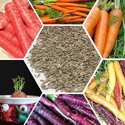 Fruits et légumes de carottes de qualité des semences de graines de radis maison pot graine de carotte pourpre 200 GRAINES