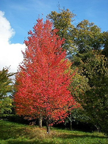 Tree Seeds Online - Acer Rubrum. Rouge Acer. 25 Semences - 1 Pack