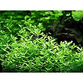 Tropica Aquarium Pflanze Bacopa monnieri 'Compact'