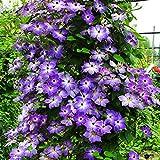 edqz - semi di fiori in primavera, 100 pezzi di clematis, rampicanti, piante per la casa e l'ufficio, decorazione viola chiaro