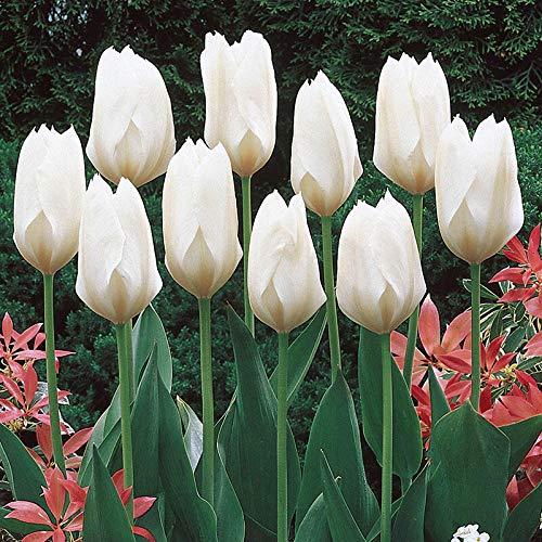 Bulbos de flor de tulipán / Histórico / Estilo único / Magníficos colores/ Plantas de jardín-Blanco,5 Bombillas