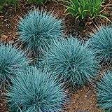 50+ Blue Fescue Ornamental Grass/Perennial Festuca/Drought Tolerant/Sun or Shade