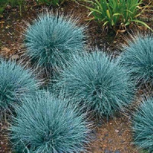 50+ Blue Fescue Ornamental Grass/Perennial Festuca/Drought Tolerant/Sun or Shade