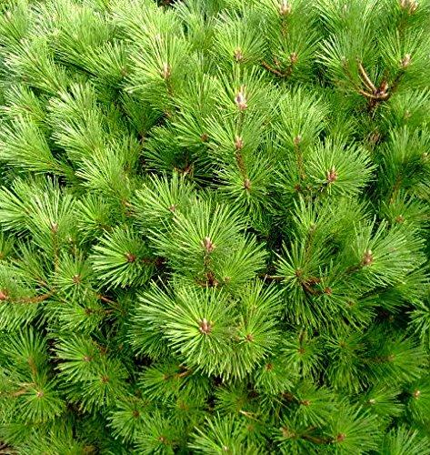 Ondai Japanese Black Pine - A dwarf, Cork-Bark Variety - 1 Year Live Plant