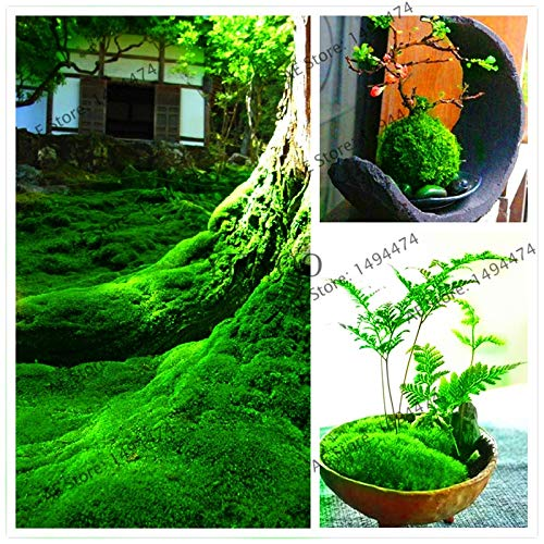 Grünmoossamen seltene exotische Bonsai-Moos-Samen, schöne Topfpflanze für Dekoration Haus und Garten, 100 Stück