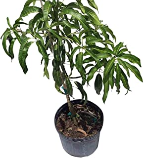Alphonso Mango Tree Grafted 7-Gal Container from Florida