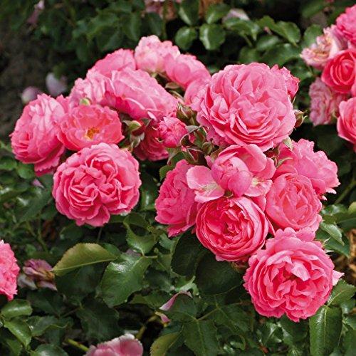 Kordes Rosen Moin Beetrose, rosa, 12 x 12 x 40 cm