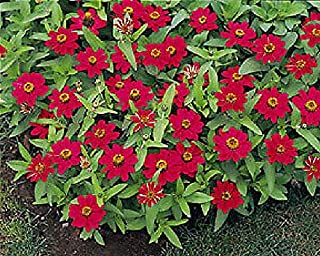 Zinnia Profusion Cherry Annual Flowers Seeds 250 Pcs an
