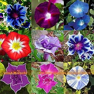Amazon com: Morning Glory - Flowers / Plants, Seeds & Bulbs: Patio
