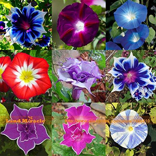 Rare Flower Morning Glory Mix Seeds, 50 Seeds, Heirloom Bonsai Big Petunia Beautiful Garden Flowers-Land Miracle