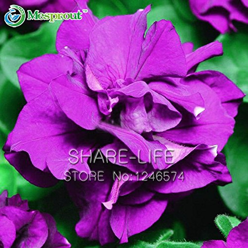 Petunia Pétales Graines pourpres Petunia Pétales Garden Home Bonsai Balcon Fleur Petunia Fleur Graines -200PCS