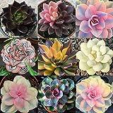 Oce180anYLVUK Sukkulenten Samen, 100 Stück Beutel Sukkulenten Samen Schöner Look Ästhetische Householld Garten Samen Für Balkon Saftige Samen