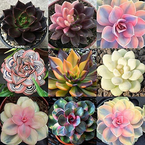 Oce180anYLVUK Semi di piante grasse, 100 pezzi/borsa Semi di piante grasse Aspetto adorabile Semi di giardino estetico Householld per balcone Succulent Seeds