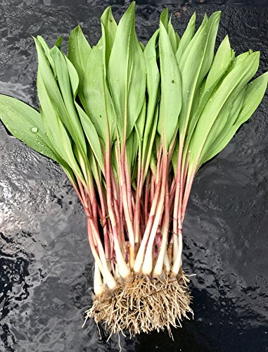 40 FRESH Wild Ramps / Leeks for cooking or replanting