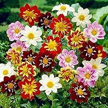 NEW! 30+ DAHLIA COLLARETTE DANDY MIX FLOWER SEEDS / ANNUAL BI-COLOR