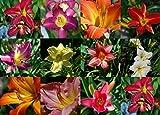 10 colores mezclados Semillas Azucena Hemerocallis Lirio de día fina mezcla de flores rojo púrpura