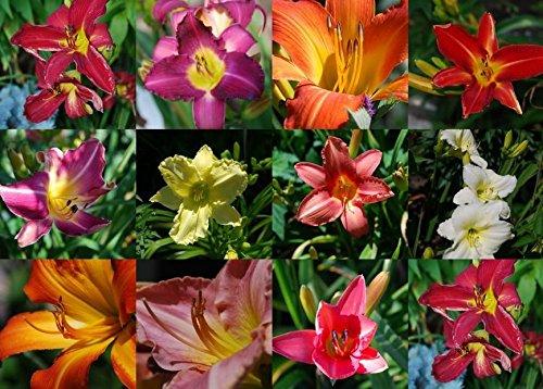 Portal Cool 10 Mischfarben Taglilie Hemerocallis Taglilie feine Mischung Rot Lila Blumensamen