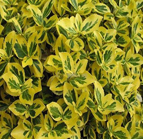 10x Bodendecker - Euonymus fortunei & microphyllus - Große Auswahl - im 0,5Ltr. Topf (Euonymus fortunei Emerald 'n Gold)