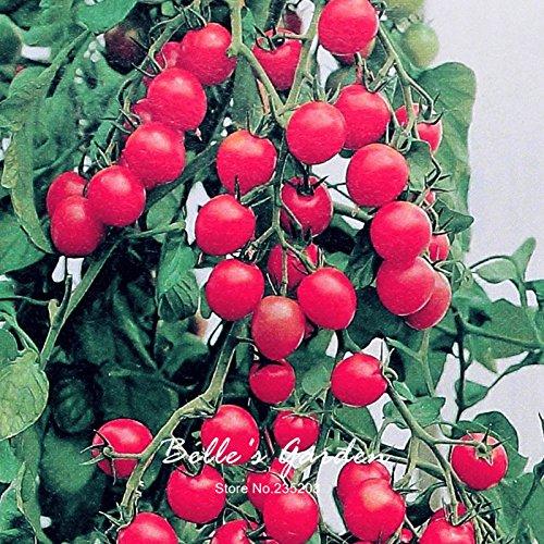 Heriloom Balcon 50pcs Potted Les graines de tomates Tomate cerise Mini mignon non-OGM Graines de légumes biologiques