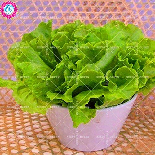 11.11 Big Promotion! 200 pcs/lot de graines de laitue condiment semences de légumes verts dans le jardin et la maison aweet graines de plantes fraîches herbe annuelle 1