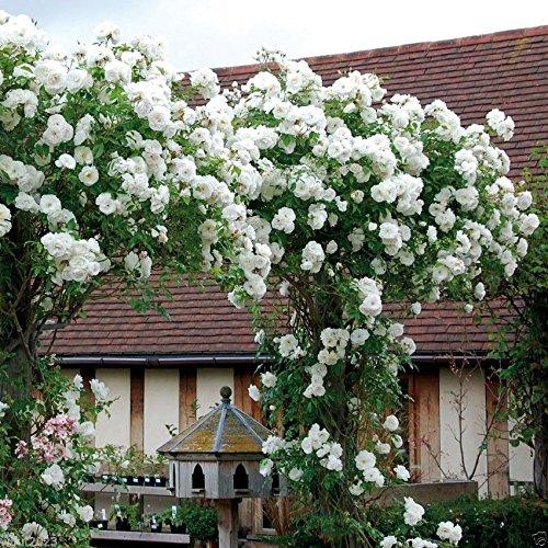 Rose Kletter Samen, weiße Blüten, Stauden, Zaun, Säule, Schuppen