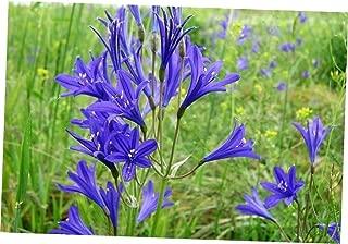HOLE 10 Seeds Blue Siberian Lily Mountain Ixia Altai Ixiolirion Tataricum Flower - RK297