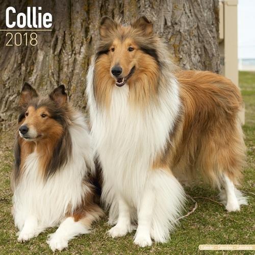 Collie Calendar - Dog Breed Calendars 2018 - Dog Calendar - Calendars 2017 - 2018 wall calendars - 16 Month Wall Calendar by Avonside