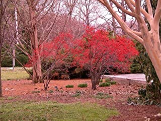 'Southern Gentleman' Winterberry Holly - Ilex - Hardy by Hirts: Holly