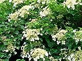 Plant in a Box – Set van 3 Hydrangea 'Petiolaris' - Klimhortensia - Pot ⌀ 9cm - Hoogte 25-40cm