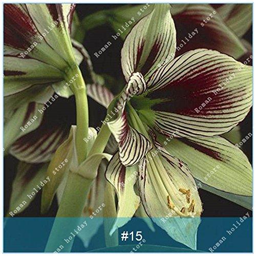 ZLKING 1 PC / Big Echte Amaryllis Zwiebeln Innen- und Außentopf Blumen Pflanzen Blumenzwiebeln Bonsai-Überlebensrate hoch Pack 15