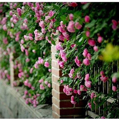 Fleurs de semences pour le jardin Escalade Rose 20pcs Floer Plantes PROMOTION grands planteurs Bonsai