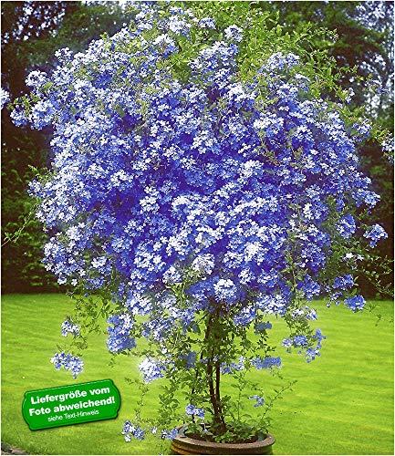 BALDUR-Garten Stämmchen'Plumbago',1...