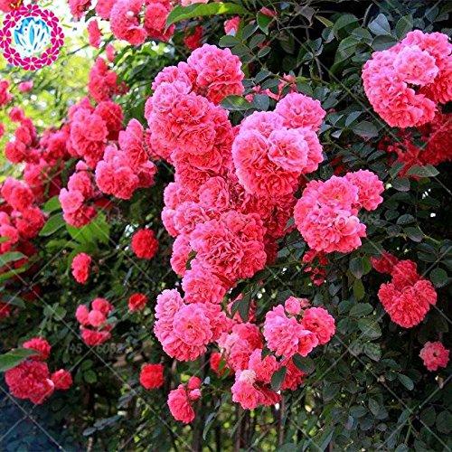 50 pcs escalade graines Rose Rouge japonaise. Rare graines Rose sementes. plante grimpante mur jardin de plantes vivaces à fleurs d'ornement