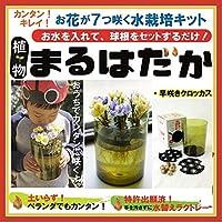 植物まるはだか 早咲きクロッカス球根水栽培セット 水栽培キット 土いらず お水を入れて、球根セットするだけ じっくり観察 水替え簡単