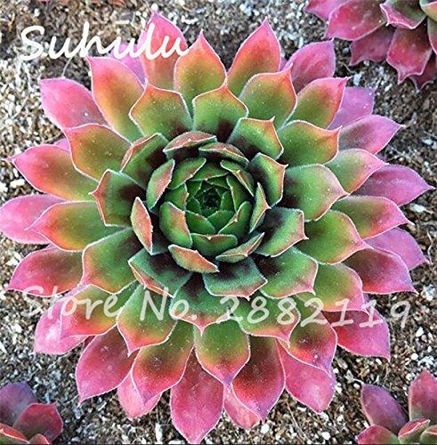 Pas cher 150 Pcs Mini Garden Succulentes Cactus Graines Variées Plantes vivaces Sempervivum Incroyable Maison Poireaux facile Live Forever Cultivez 6