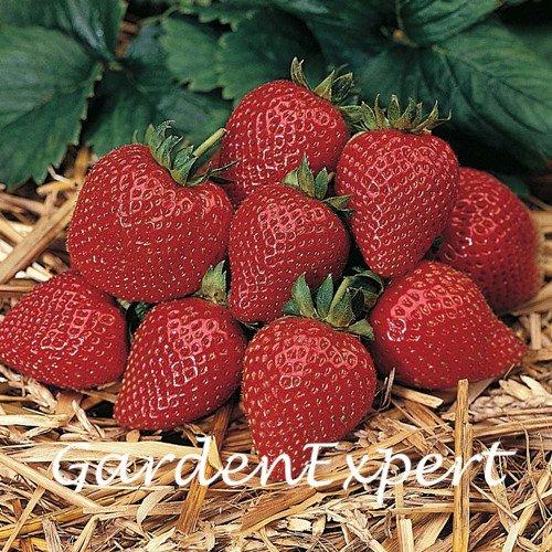 200pcs Sarian Strawberry Graines Bonsai Graines de fraises en pot délicieux fraise fruits Graines Bonsai plante jardin