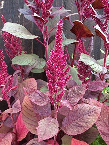 Roter Meier (Amaranthus lividus) 500 Samen Gemüse-Amaranth