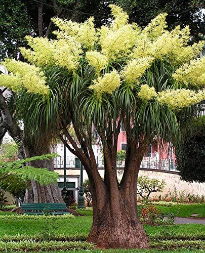 Seedeo Anzuchtset Flaschenbaumlilie - Elefantenfuß (Nolina recurvata)