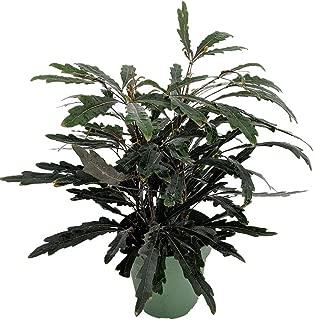 Mary Jane Castor Japanese Aralia - Dizygotheca elegantissima - 4