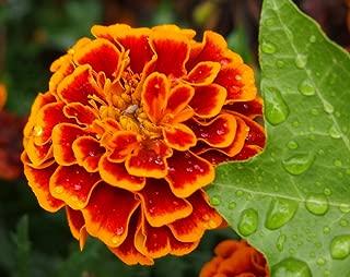 Heirloom 300 Seeds Tagetes Patula African Dwarf Marigold Signet Pot Orange Red Flower Fresh Bulk B2135