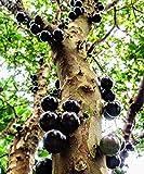 Jaboticaba, Jabuticaba Myrciaria cauliflora, Brazilian Grape Tree
